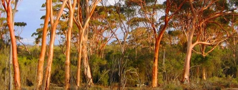 It is National Eucalypt Day!