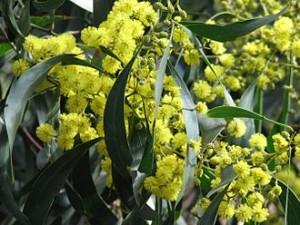 The Golden Wattle in full bloom